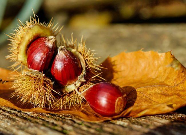 chestnut-1784282_960_720